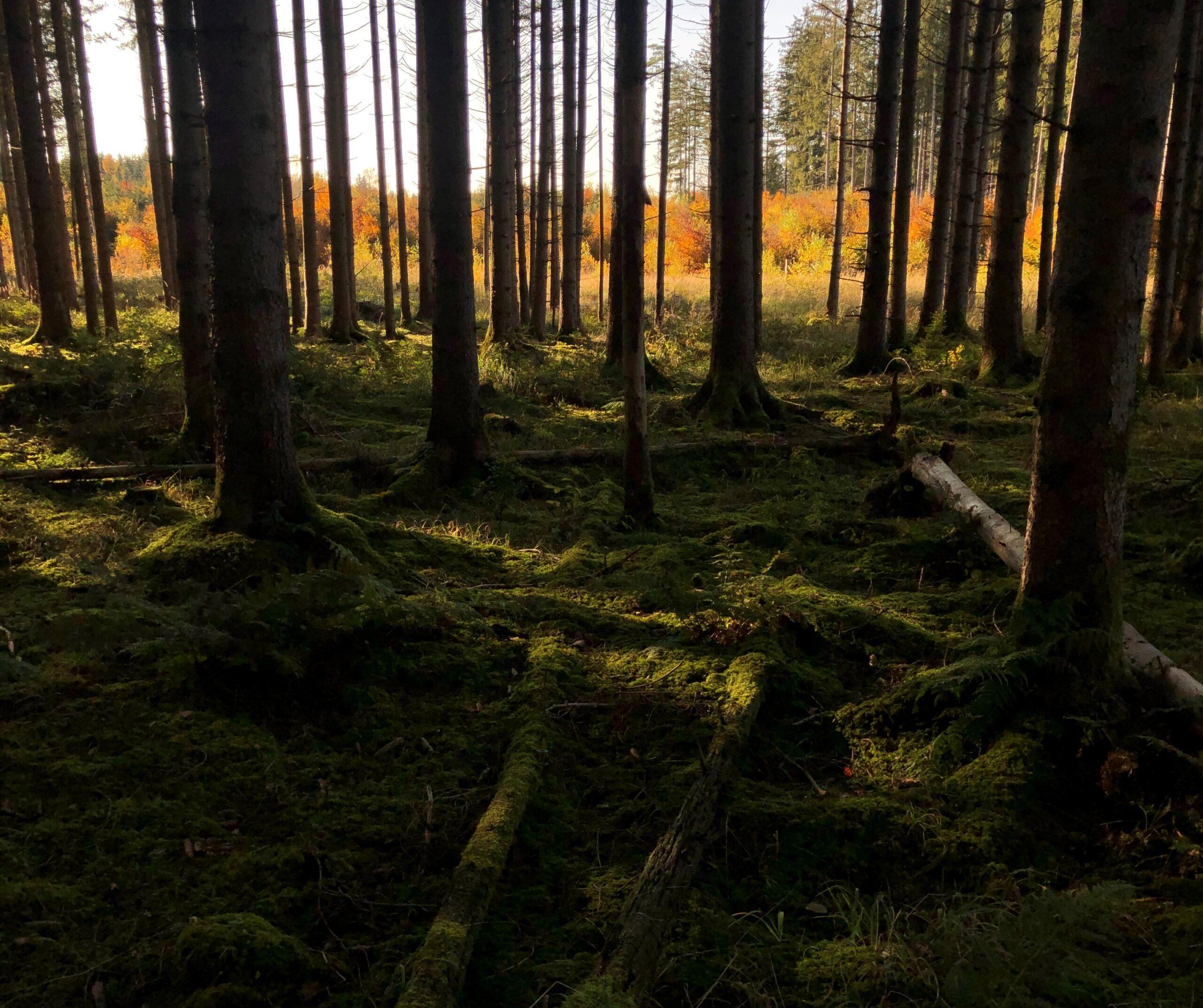 Адаптація лісу до зміни клімату: реструктуризація Тюринзького лісу